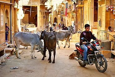 Jaisalmer street scene, cows and motorbike on the street, Jaisalmer, Rajasthan State, India.