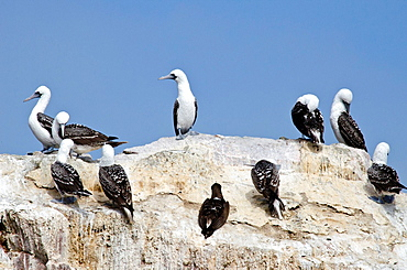 Paracas National Reserve, Blue-footed Booby Sula nebouxii in the Ballestas islands. Peru.