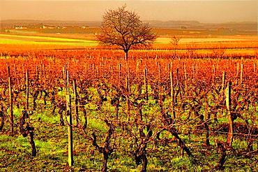 Cognac wine fields by Bassac in autumn, Charente, Poitou-Charentes, France