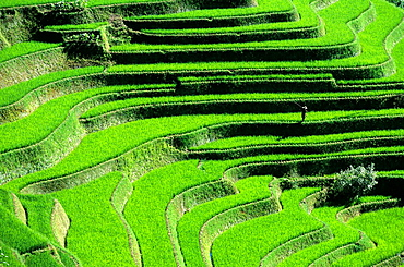 Yuanyang, A Farmer is checking his Ricefield, Rice Terrace, Rice Paddies, Terraced Rice Fields, China.