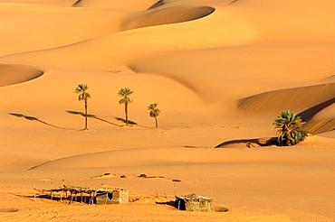 Palm Trees, Dunes, near Lake Um el Ma, Libyan Desert, Libyan Arab Jamahiriya.