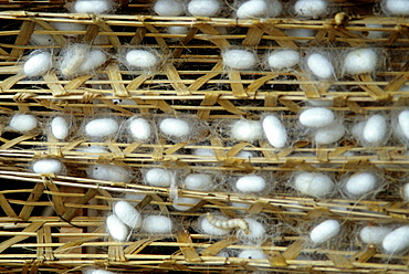 Da Lat, Silk Cocoons, Silk Factory, Vietnam.