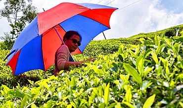 picking tea in the tea plantations of Munnar, a hill station in Kerala, India.