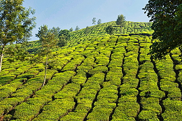 The beautiful tea plantations of Munnar, a hill station in Kerala, India.