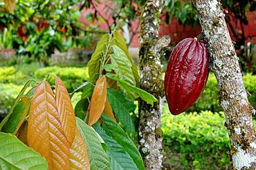 Ilheus, Bahia, Brazil, cocoa fruits at CEPLAC chocolate factory