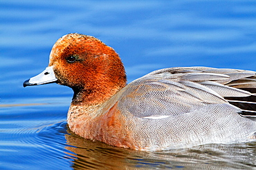 Male of eurasian wigeon, (Anas penelope) swimming in Tablas de Daimiel National Park. Ciudad Real province. Castilla-La Mancha. Spain.