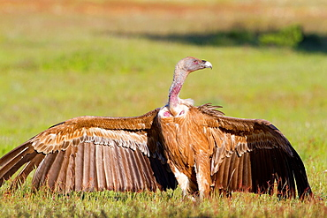 Griffon vultures (Gyps fulvus) perched on the ground in Arribes del Duero Natural Park. Salamanca. Castilla y Leon. Spain.