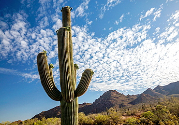 A majestic Saguaro cactus towers above the colorful Sonoran desert landscape beneath a canopy of white clouds.
