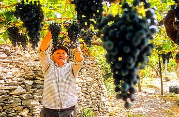 Man collecting grapes, Ohanes.Alpujarras, Almeria province, Andalucia, Spain.