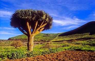Dragon Tree, El Hierro, Canary Island, Spain, Europe.