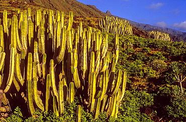 Cactus in Las Playas, El Hierro, Canary Island, Spain, Europe.
