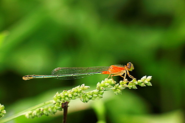 DAMSELFLY, dragon fly, borneo