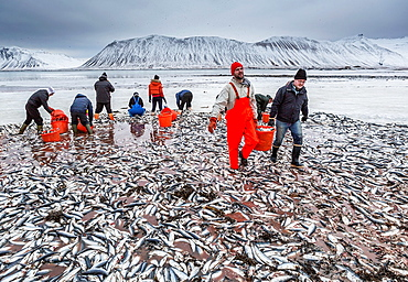 People cleaning up dead herring in fjord.