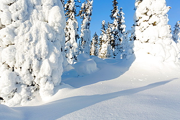 Winter landscape with snowy spruces on mount Hirvas in february in Gallivare in swedish lapland.