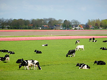 cows at farmland in the Beemster polder, the Netherlands