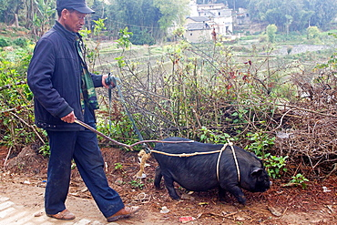 China , Yunnan province , Yuanyang , Duoyishu village, market , Hani people are in dark blue and black , a man bring a piglet to the market.