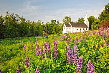 Sugar Hill Lupine Festival, Lupine in Sugar Hill, New Hampshire USA during the spring months.