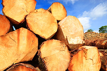 Timber stack Timber Harvesting Pembrokeshire Wales.