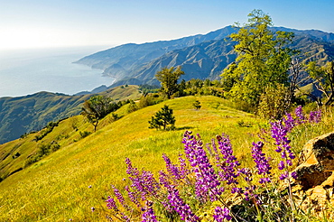 Lupine wildflowers and green hills in Spring on the Big Sur Coast, Monterey County, California Lupine wildflowers and green hills in Spring on the Big Sur Coast, Monterey County, California.