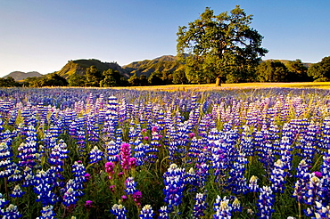 Field of Lupine and Owl's Clover wildflowers in Spring, Ventana Wilderness, Los Padres National Forest, California.