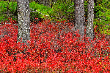 Autumn blueberry (Vaccinium angustifolium) shrubs under pine trees, Marquette, Michigan, USA.