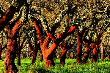 cork uncorked, Quercus suber, Os Almendres, Evora district, Alentejo, Portugal, Europe.