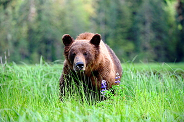 A male grizzly bear (Ursus arctos horribilis) feeding on Nootka lupine, Khutzeymateen Grizzly Bear Sanctuary, British Columbia, Canada, June 2013.