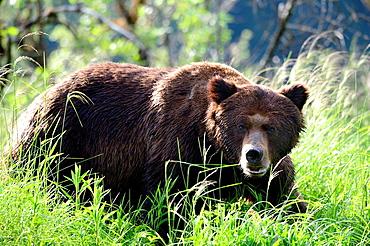A big grizzly male (Ursus arctos horribilis) walking in sedges, Khutzeymateen Grizzly Bear Sanctuary, British Columbia, Canada, June 2013.