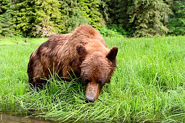Grizzly male (Ursus arctos horribilis) feeding on Lyngby's sedges (Carex lyngbyei) his most important food source with high crude protein content in spring, Khutzeymateen Grizzly Bear Sanctuary, British Columbia, Canada, June 2013.