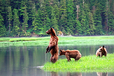 A female grizzli bear (Ursus arctos horribilis) and her two cubs watching warily across the water, toward the opposite bank where they would like to swim, Khutzeymateen Grizzly Bear Sanctuary, British Columbia, Canada, June 2013.