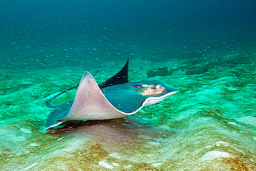 Bat Ray, Myliobatis californica, Cabo Pulmo Marine National Park, Baja California Sur, Mexico.