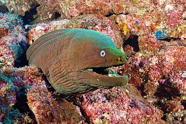 Panamic Green Moray Eel, Gymnothorax castaneus, San Benedicto, Revillagigedo Islands, Mexico.