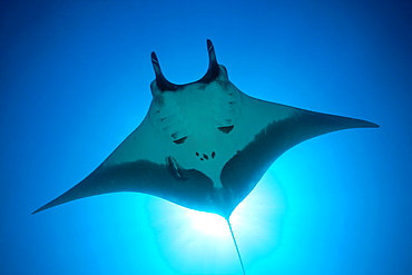 Manta, Manta birostris, San Benedicto, Revillagigedo Islands, Mexico.