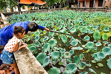 gathering lotus roots in a pond, Ninh Binh, Vietnam.