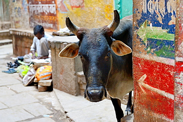 India, Uttar Pradesh, Varanasi, Holy cow.