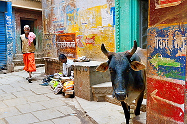 India, Uttar Pradesh, Varanasi, Holy cow and shoemaker.