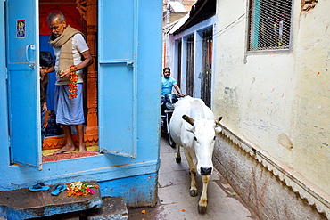India, Uttar Pradesh, Varanasi, Family temple and holy cow.