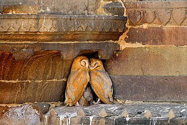 India, Uttar Pradesh, Varanasi, Sleeping owls.