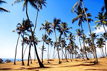 palms trees on the beach, salvador, bahia, brazil, south america.