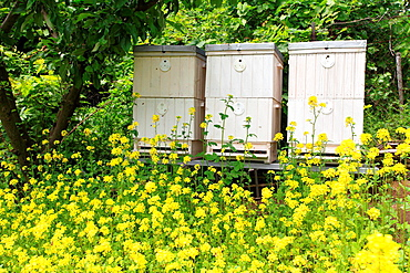 The blooming yellow flowers of White mustard (Sinapis alba) in front of bee hives. Location: Male Karpaty, Slovakia.