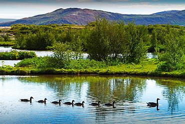 Greylag goose family (Anser anser). Rift Valley. Pingvellir National Park. Golden Circle, Iceland, Europe.