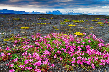 Dwarf Fireweed or River Beauty Willowherb (Chamerion latifolium) in volcanic ground. Iceland, Europe.