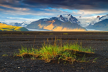 Grass in volcanic ground. Iceland, Europe.