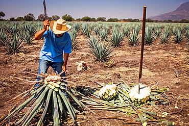 Harvesting Agave (Jima).plantation of blue Agave in Rancho 'El Coyote', Penjamo, Guanajuato, Mexico.