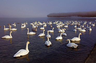 Whopper Swans (Cygnus cygnus) in Lake Kussharo,Akan National Park,Hokkaido,Japan.