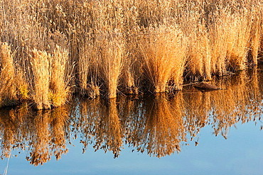 The reeds of the Danube Delta in winter. The danube Delta is a UNESCO heritage site. europe, eastern europe, romania, october.