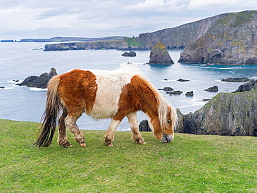 Shetland Pony on pasture near high cliffs on the Shetland Islands in Scotland. europe, central europe, northern europe, united kingdom, great britain, scotland, northern isles,shetland islands, May.