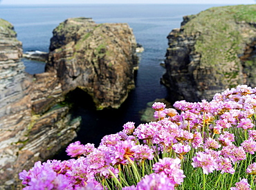 Sea Pink flowering, (armeria Maritima) Orkney Islands. Europe, Great Britain, Scotland, Northern Isles, Orkney, June.