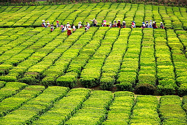 Harvest time in Porto Formoso tea gardens. Sao Miguel island, Azores, Portugal.