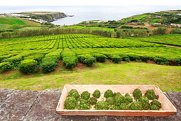 Balls of fresh ground green tea leaves. Porto Formoso tea gardens, Azores, Portugal.